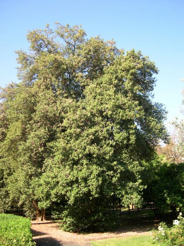 lagunaria-pattersonii-137-1
