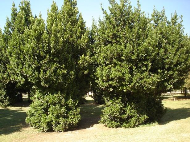 laurus-nobilis-parque-del-alamillo-jun-2011-051