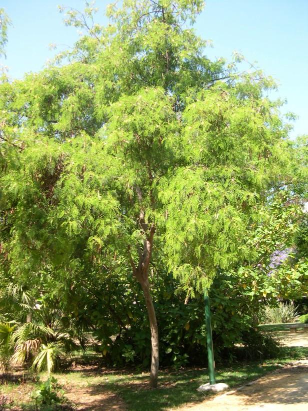leucaena-leucocephala-139-1-c