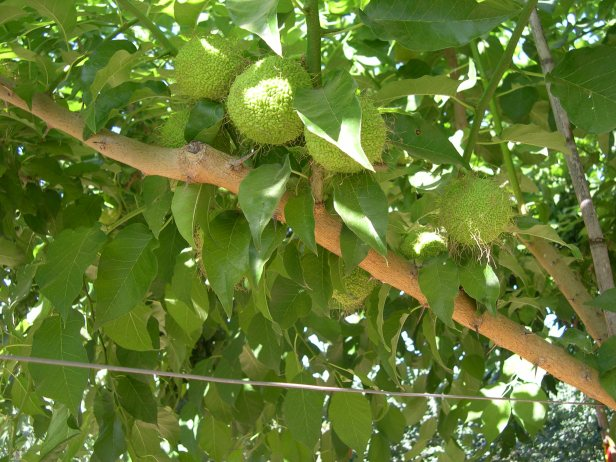 maclura-aurantiaca-frutos-146-4