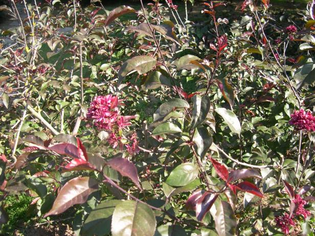 malus-communis-var-atropurpurea-flor-149-2-c