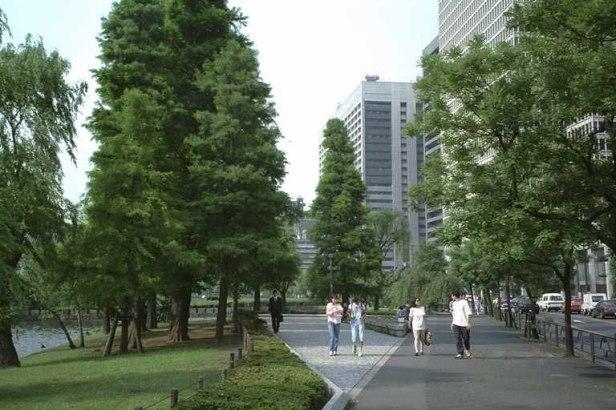 metasequoia-glypsostroboides-tokyo