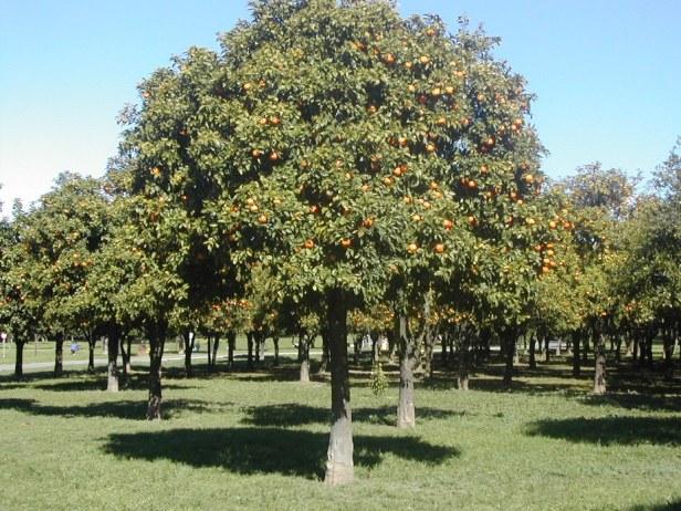 naranjo-citrus-aurantium-parque-del-alamillo