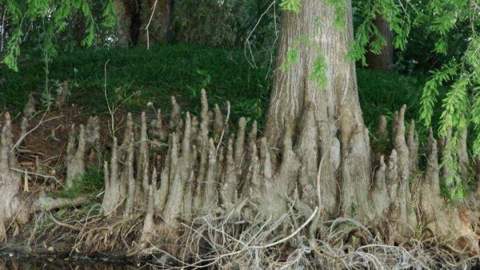 neumatoforos-taxodium-distichum-o-cipres-de-los-pantanos