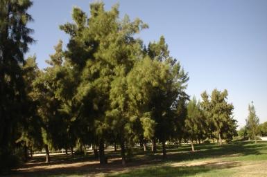 nous-parcs-parque-del-tamarguillo-casuarina-stricta-067-2