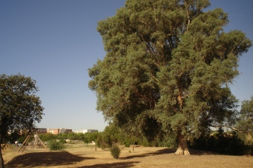 nous-parcs-parque-del-tamarguillo-eucalipto-026-2