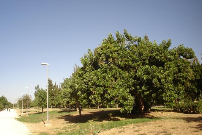 nous-parcs-parque-del-tamarguillo-phytolaca-dioica-060-2
