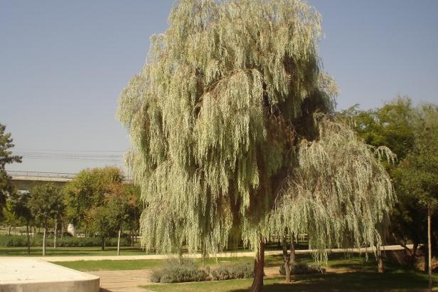 Parque-riberas-del-guadaira-acacia-pendula-126-2