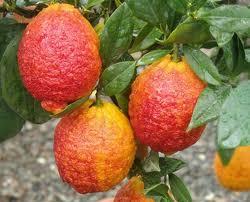 oscar-tintori-limoni-rosso