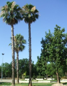 parque-celestino-mutis-palmeras-washingtonia-en-flor1