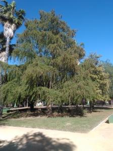 parque-celestino-mutis-taxodium-distichum