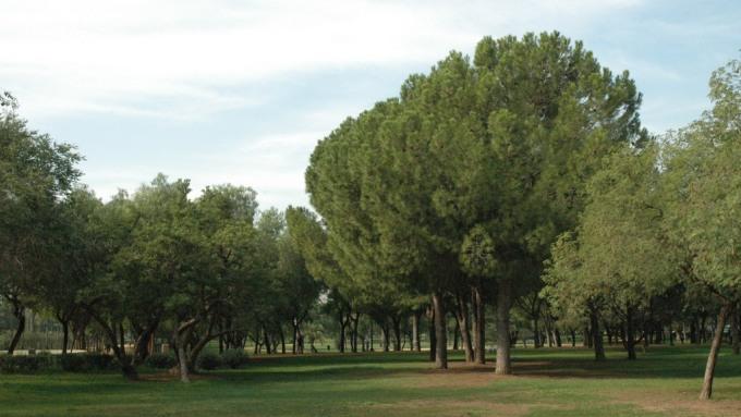 parque-de-amate-038-pinus-pinea_redimensionar-2
