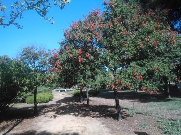 parque-de-amate-koelreuteria-paniculata