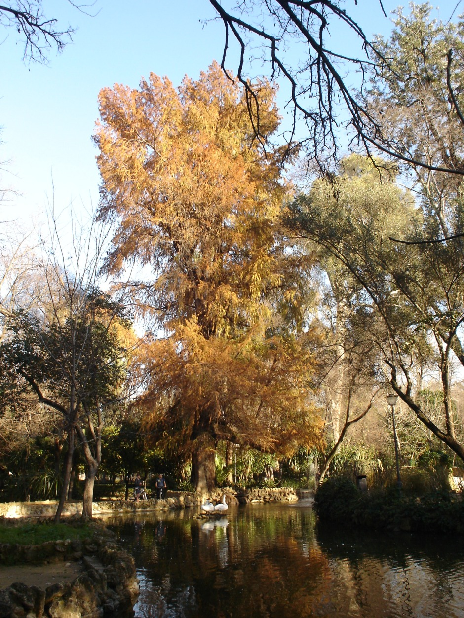 parque-de-maria-luisa-taxodium-isleta-de-los-patos