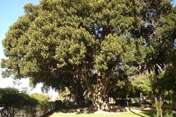 parque-de-maria-luisa-x-ficus-macrophylla-1