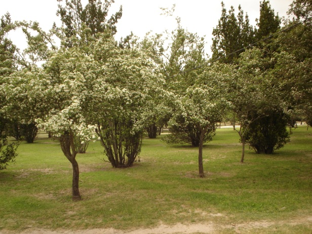 parque-del-alamillo-crataegus-oxyacantha-d