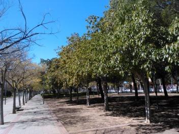 parque-miraflores-ficus-12-marzo-16-ficus-virens