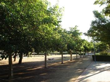 parque-miraflores-ficus-virens