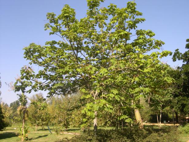 paulownia-tomentosa-157-1-c
