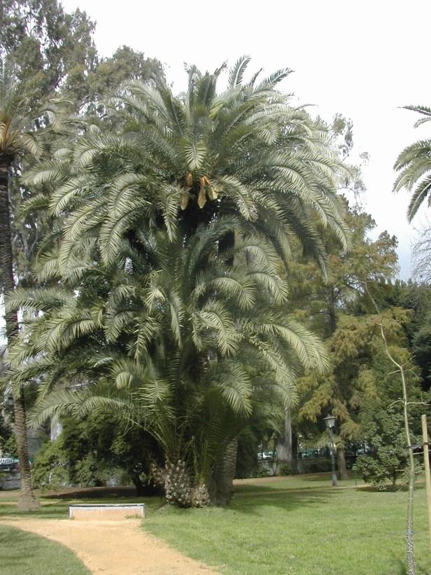 phoenix-dactilifera-161-1-c