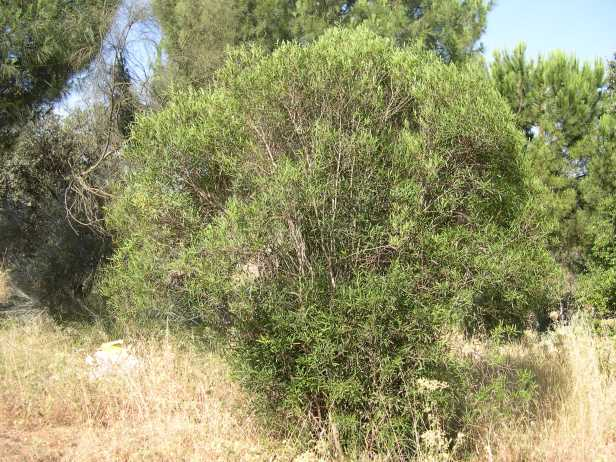 phyllirea-angustifolia-159-1