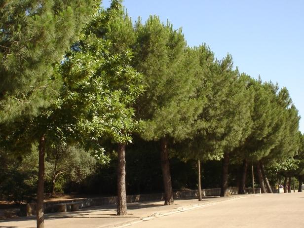 pinus-pinea-parque-del-alamillo-jun-2011-048