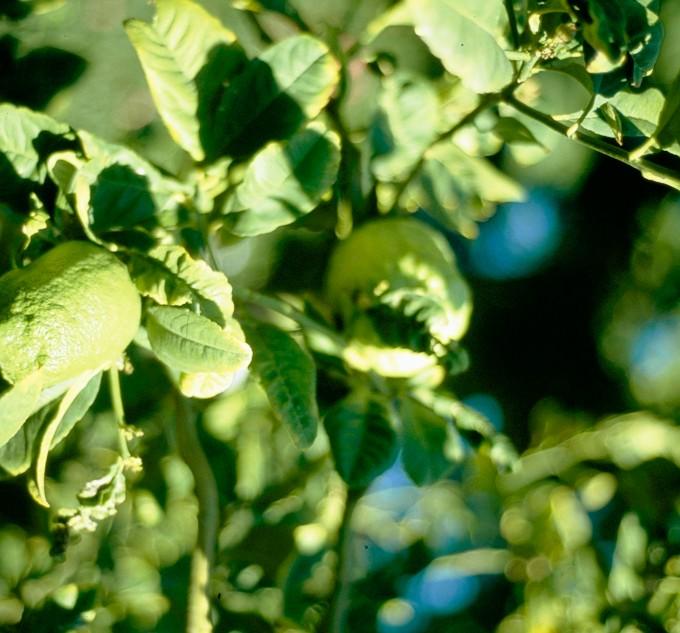 plagas-minador-de-hojas-en-naranjos
