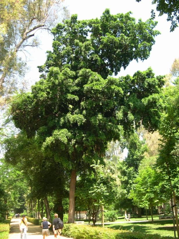 podocarpus-neriifolius-machado-177-3-c