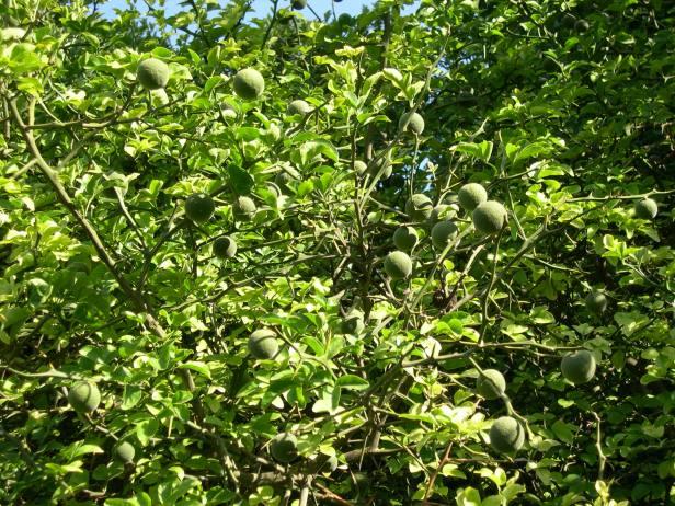 poncirus-trifoliata-frutos-178-2