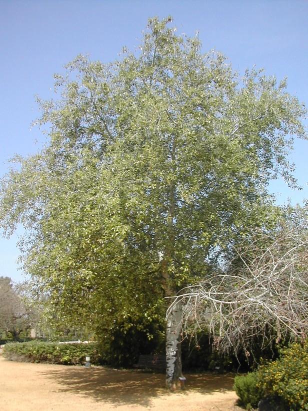 populus-alba-179-4-b