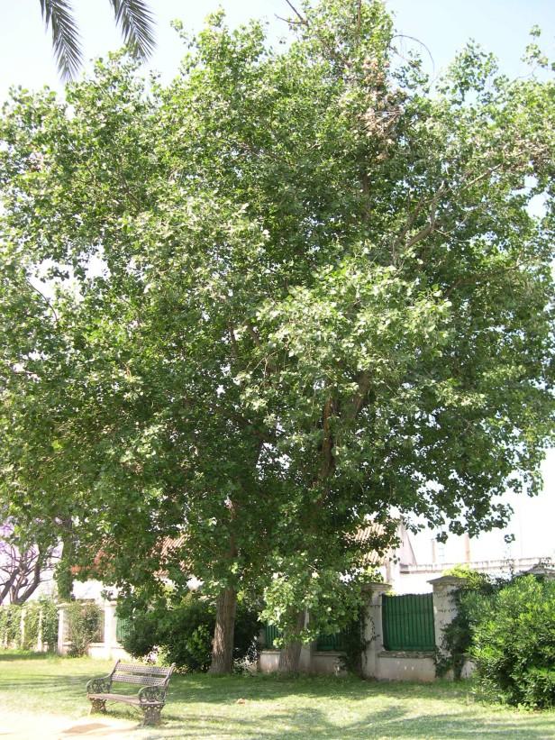 populus-canadiensis-181-1-c