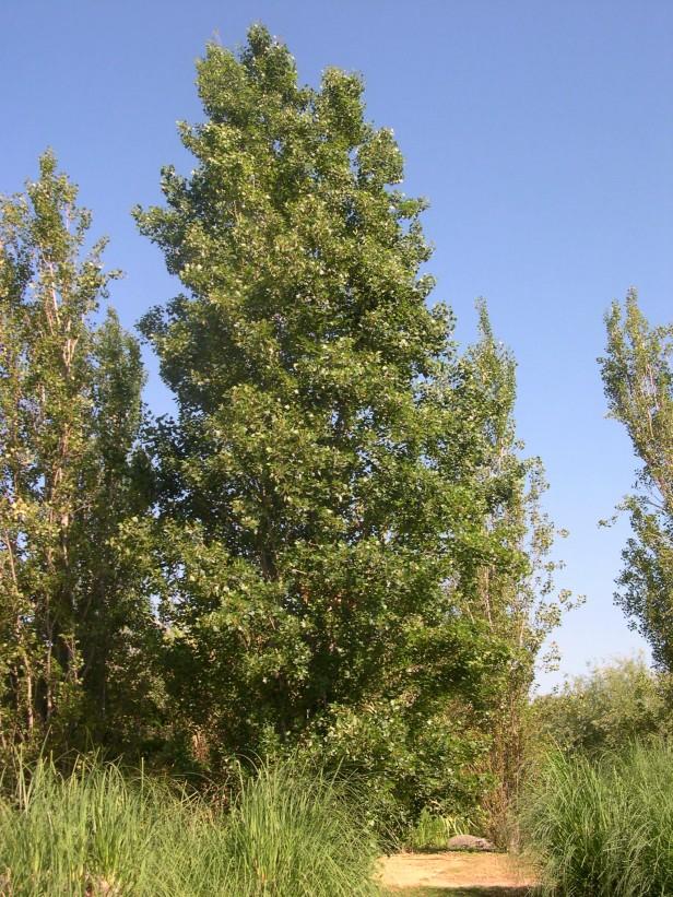 populus-nigra-var-pyramidalis-182-1-c