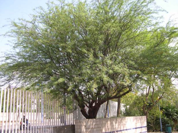 prosopis-chilensis-184-1-c