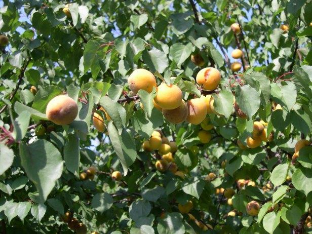 prunus-armeniaca-frutos-185-3