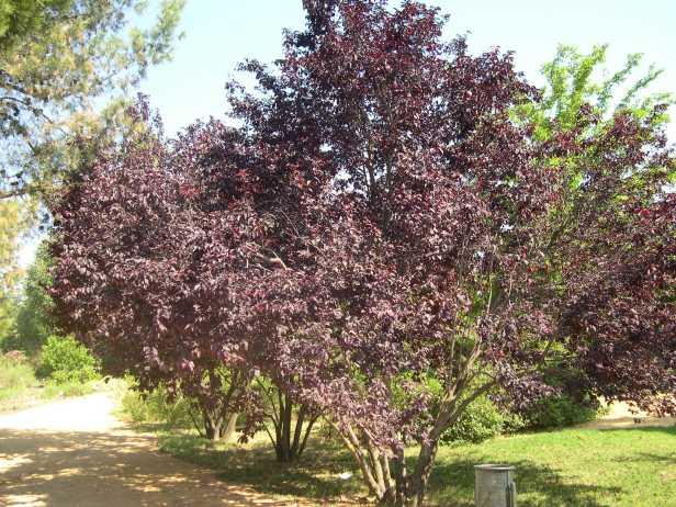 prunus-ceracifera-varpisardii-186-1-c