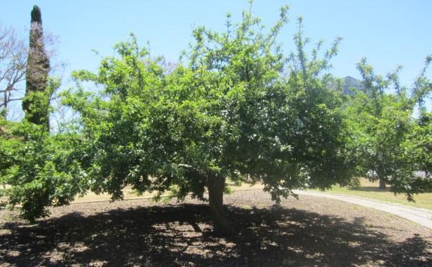 prunus-domestica-jardines-de-la-buhaira-sevilla