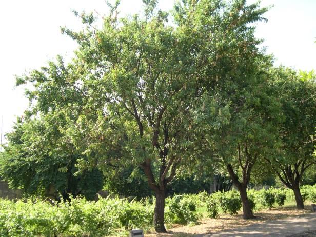 prunus-dulcis-la-cartuja-188-1