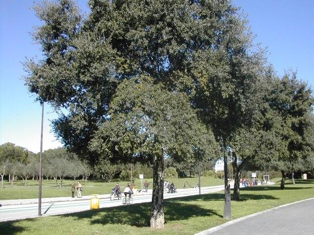 quercus-suber-parque-del-alamillo-199-2-b