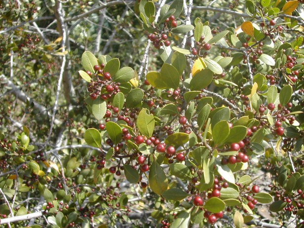 rhamnus-alaternus-frutos-202-1-c