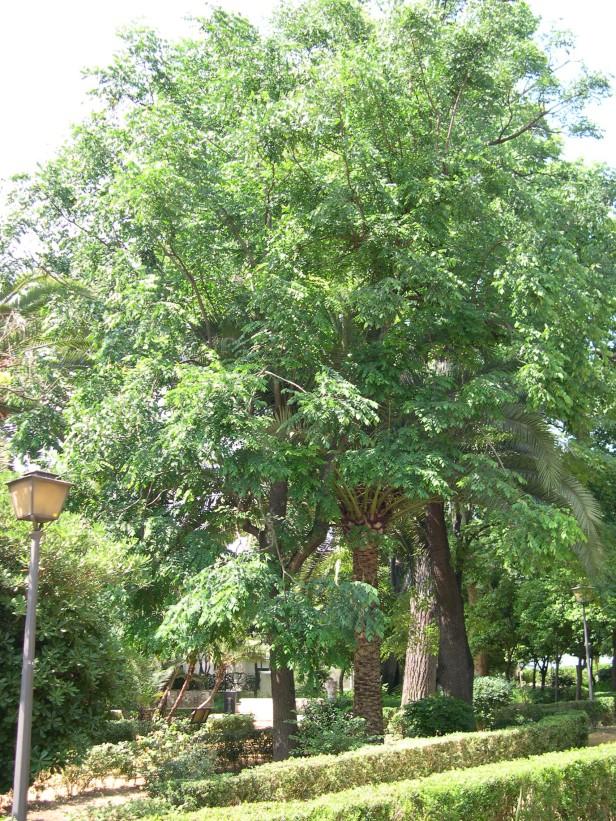 sapindus-mukorosii-211-1-c