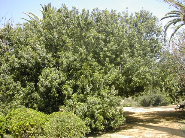 schinus-terebenthifolia-215-1-c