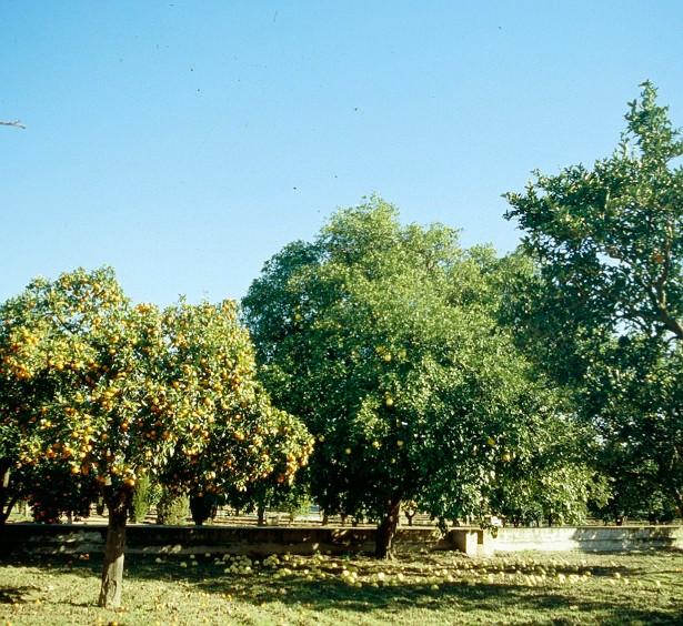 sevilla-huerta-de-la-cartuja-citrus-sinensis-y-citrus-paradisi-2