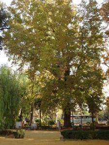 sevilla-jardines-de-cristina-platanus