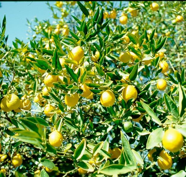 sevilla-parque-de-los-principes-kumquat