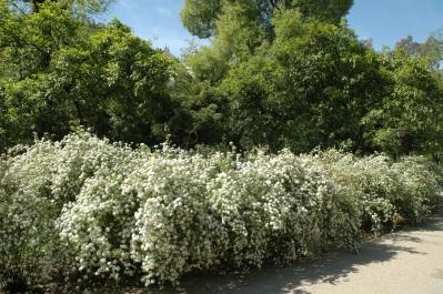 sevilla-parque-de-maria-luisa-spirea-cantoniensis