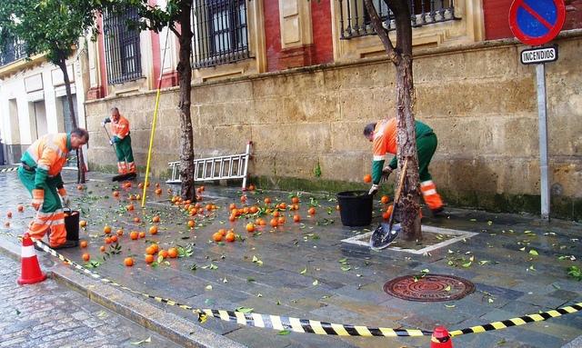 sevilla-recoleccion-de-naranjas