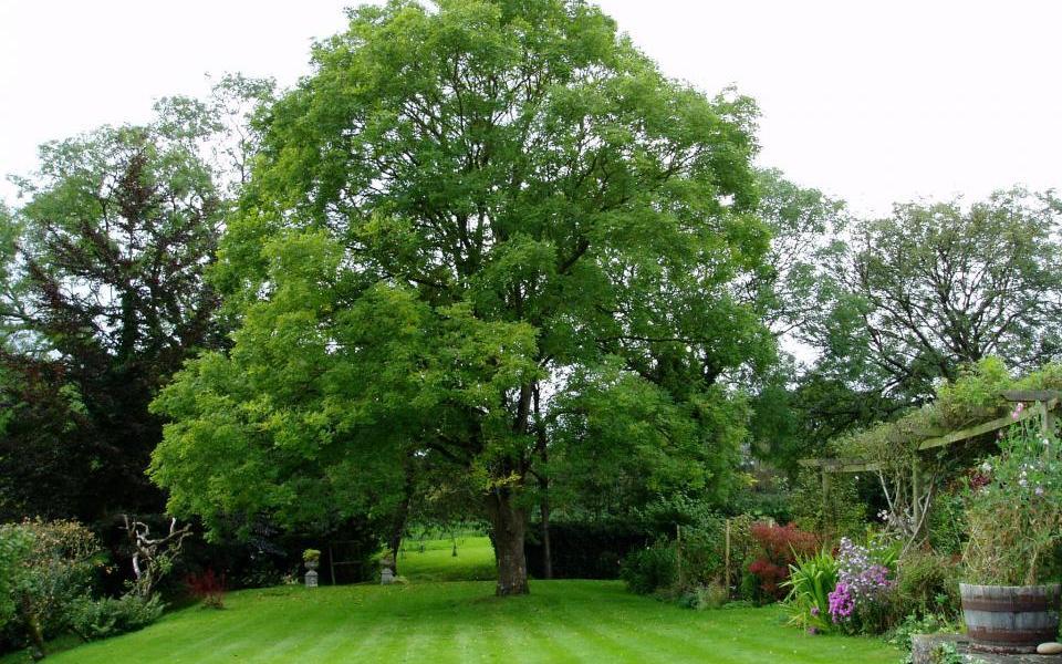 sophora-japonica-tree