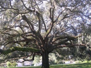 spanish-moss-tree