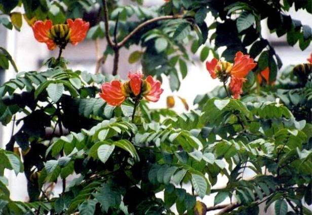 spathodea-campanulata-218-1-b