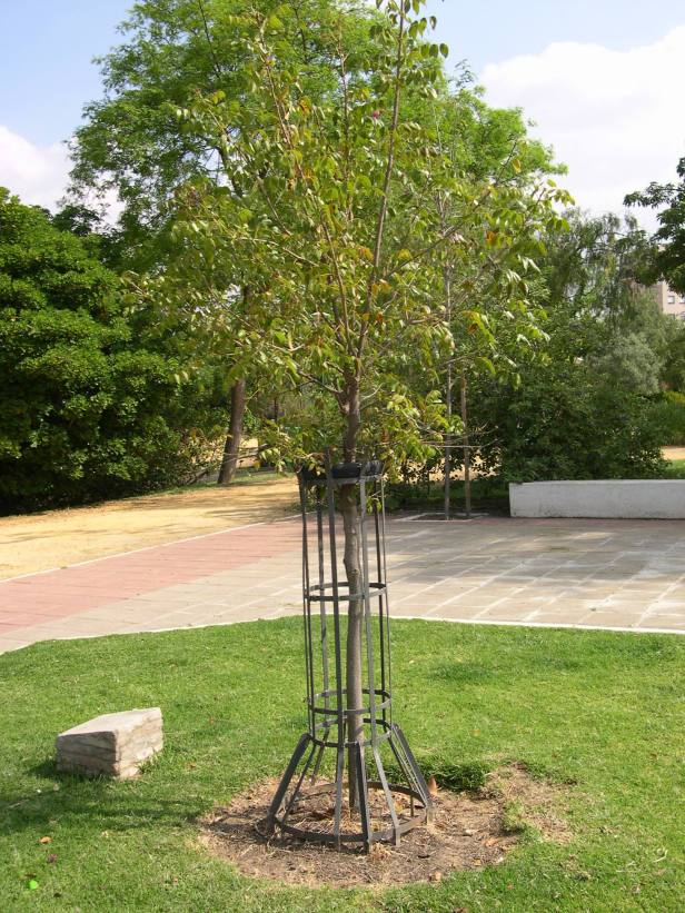 swietenia-mahoganii-220-1-c